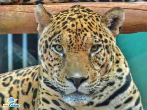 Onça Pintada - Zoológico de Goiânia-GO